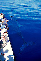 Mother and calf humpback whales swim close to a boat off Maui.