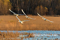 00758-02110 Trumpeter Swans (Cygnus buccinator) in flight Riverlands Migratory Bird Sanctuary St. Charles Co., MO