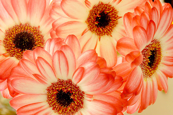 Daisy Blush Photo. Floral Photos. Marc Caryl Nature and Landscape Photos.