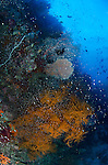 Black corals and baitfish on a coral covered wall, Misool area, Raja Ampat, Indonesia, Pacific Ocean