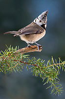 Crested tit (Parus cristatus) sits on a branch in Pine (Pinus), Tyrol, Austria, Europe