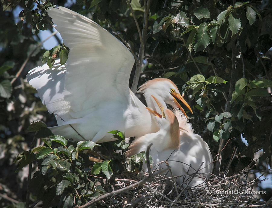 A cattle egret (Bubulcus ibis) mom and dad nuzzle in the nest in the trees in Denver, Colorado.
