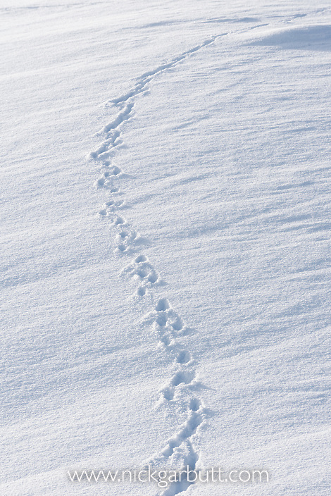 Tracks / footprints of Red Fox (Vulpes vulpes) in deep snow. Hayden Valley, Yellowstone National Park, Wyoming, USA.
