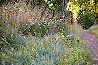California native plant front yard, lawn substitute meadow garden with bunch grasses tall Festuca californica and gray foliage Idaho fescue (F. idahoensis), and wildflowers Achillea, Calrkia , Buckwheat