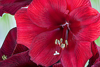 Red Amaryllis flower, close up with anthers