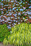 Vashon-Maury Island, WA: Perennial garden featuring golden Japanese forest grass (Hakonechloa macra 'Aureola') and hydrangea 'blue deckle'