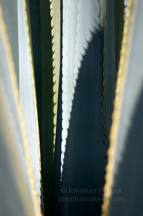 A close-up of an agave plant at the Los Angeles County Arboretum & Botanical Garden in Arcadia, California.