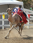 International Camel Races action in Virginia City, Nev., on Friday, Sept. 9, 2011. .Photo by Cathleen Allison