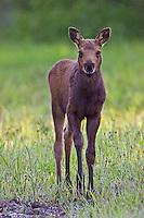 Baby Moose Calf