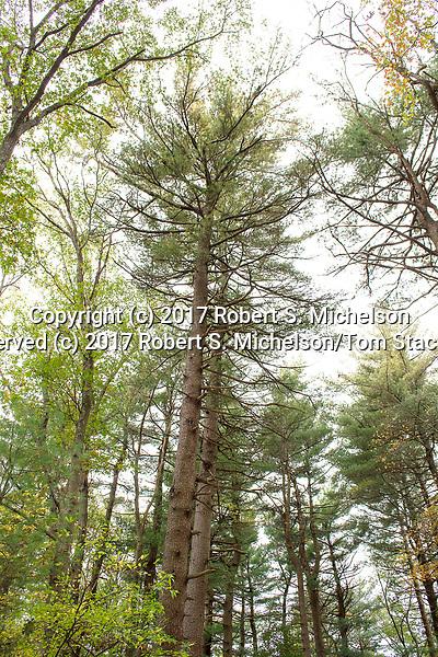 Eastern white pine, Randolph, Massachusetts