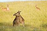 Eastern Grey Kangaroo (Macropus giganteus) juveniles boxing as part of play-fighting, Mount Taylor Nature Reserve, Canberra, Australian Capital Territory, Australia
