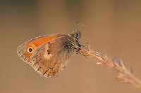 Kleines Wiesenvögelchen, Wiesen-Vögelchen, Kleiner Heufalter, small heath