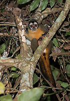 We saw eleven different species of monkeys on this trip! This was my first night monkey sighting since 2006.