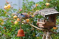 Eichelhäher, Eichel-Häher, Vogelfütterung, Ganzjahresfütterung, Garrulus glandarius, Eurasian jay, jay, jaybird, Geai des chênes