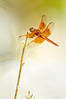 Red Skimmer, Washington