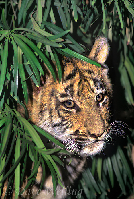 683999148 a captive bengal tiger cub panthera tigris stares out from protective shrubbery and this animal is a wildlife rescue