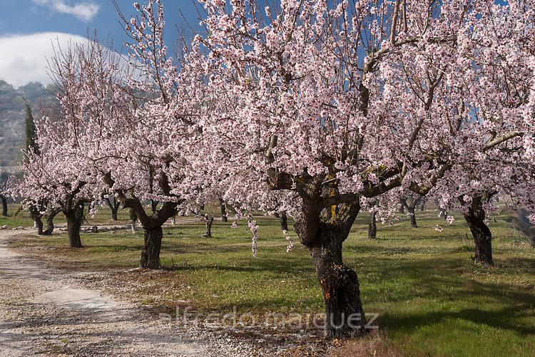 Almond tree plantation, Alicante, Costa Blanca, Spain