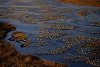 Sandhill Cranes (Grus canadensis) roosting in Platte River in early morning.  Nebraska.  Spring migration, March.