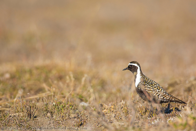 American golden plover hunts for food on the tundra of Alaska's arctic north slope.