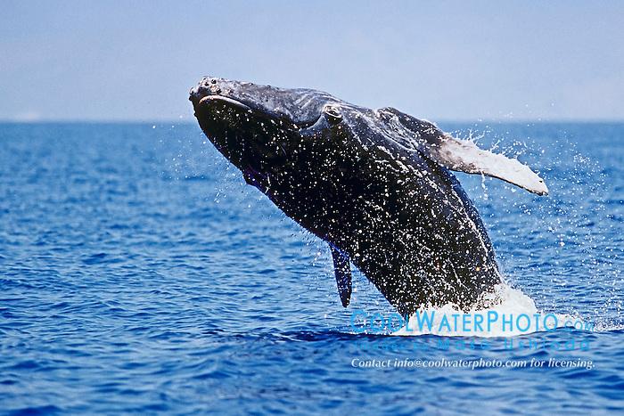 humpback whale, Megaptera novaeangliae, newborn calf, practicing head breaching, Hawaii, USA, Pacific Ocean