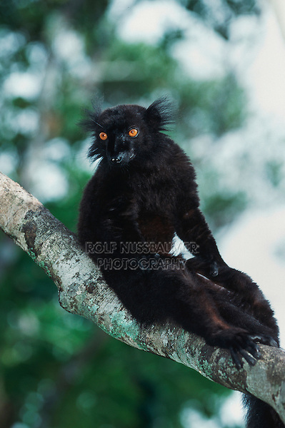 Black Lemur (Eulemur macaco), male, Madagascar, Africa