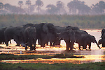 African elephants in marshland, Okavango Delta, Botswana