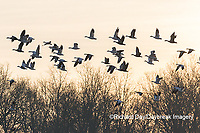 00754-02704 Snow Geese (Anser caerulescens) flying from wetland at sunrise Marion Co. IL