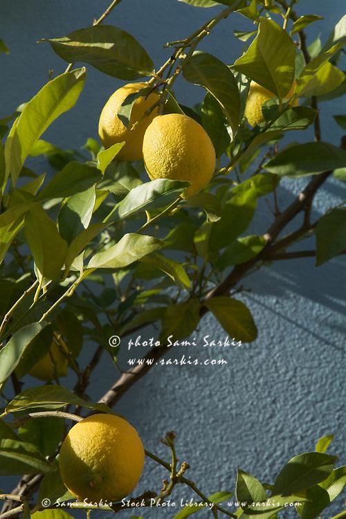 Lemon tree casting shadows on wall.