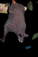 Naked Bat; Cheiromeles torquatus; dermapteran insect on rump;<br /> Indonesia, Borneo, W. Kalimantan, Bentuang-Karimun National Park; dermapteran; insect; rump;