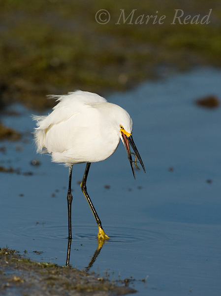 Snowy Egret (Egretta thula) with fish (pipefish), Florida, USA<br /> (Fish ID by Dr. J.B.Heiser, Cornell University)