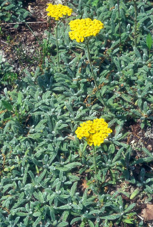 Woolly Yarrow Achillea tomentosa Lemon in bloom