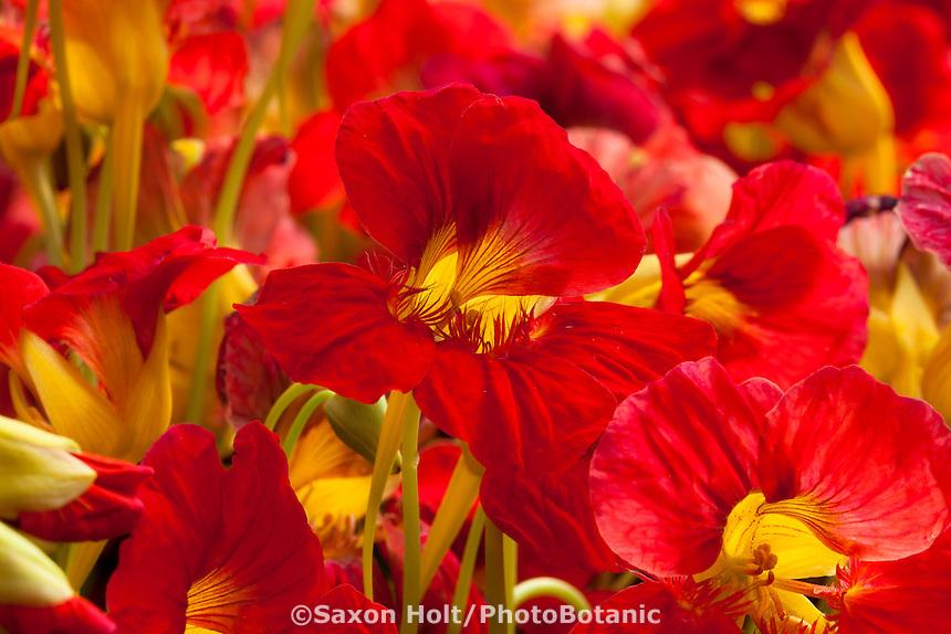 Nasturtium, Tropaeolum 'Alaska Raspberry', red annual flower from Thompson & Morgan