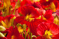 Nasturtium, Tropaeolum 'Alaska Raspberry', red annual flower from Thompson & Morgan