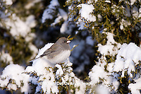 01569-01511 Dark-eyed Junco (Junco hyemalis) in Juniper tree (Juniperus chinensis 'Keteleeri') in winter, Marion Co., IL