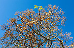 Deciduous tree against deep blue sky with only one branch showing green shoots of new springtime growth, dried fruit balls hang from other branches. Concept of growing, emergence, newness