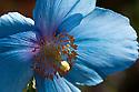 Himalayan blue poppy (Meconopsis Fertile Blue Group 'Lingholm'), late April.