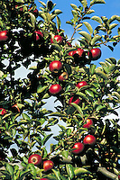 Red apples hanging on the branches of a green leafed apple tree with a blue sky and clouds in the background.