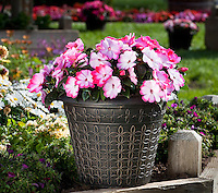 Danziger - Harmony Radiance Pink, Impatiens New Guinea flowering annual in container in garden