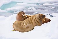 couple of walrus, odobenus rosmarus, on ice, Spitsbergen, Svalbard, Norway, Arctic Ocean