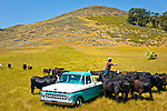 Jason Haase feeding the cattle from his 1968 Ford Pickup Truck, San Luis Obispo, California