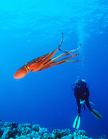 scuba diver and day octopus, .Octopus cyanea, .Big Island, Hawaii (Pacific)