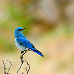 mountain bluebird perched on a bare branch, Estes Park, Colorado,Rocky Mountains, USA