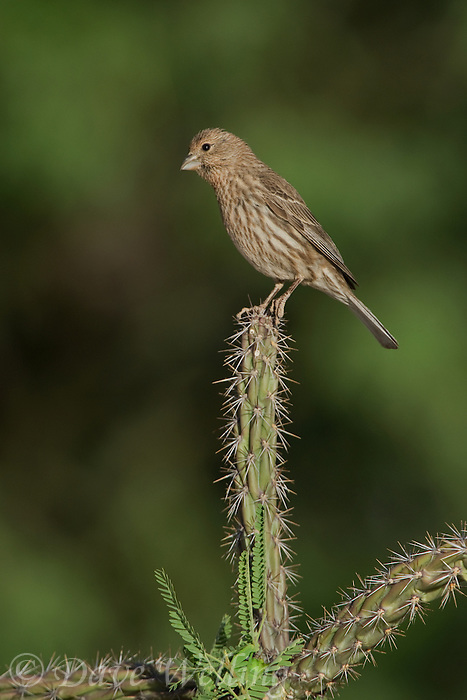528800249 a wild female house finch podocarpus mexicanus perches on cholla cactus  plant in southern arizona