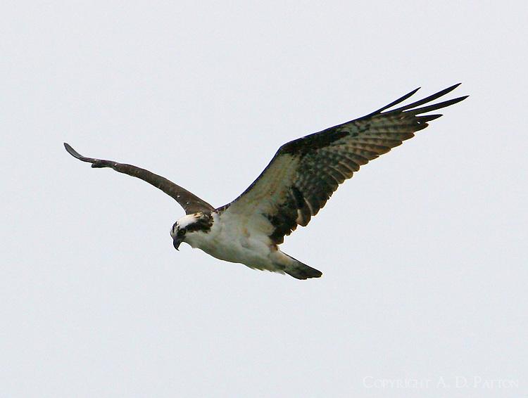 Flying osprey
