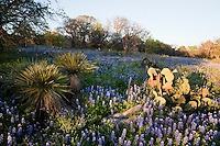 Afternoon Sunlight falls on a Meadow of colorful Spring Bluebonnets (Lupine subcarnosus), and Prickly Pear cactus (Opuntia sp), and Yucca Plants in the Texas Hill Country, Lake Buchanan