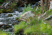 Wild Coyote (Canis latrans) with cutthroat trout it has caught.  Trout is loosing its eggs as it was in the small stream to spawn.  Western U.S., June.