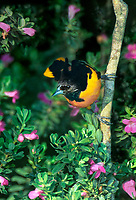561920012vf a wild male northern baltimore oriole icterus glabula glabula perches in flowering sage on south padre island texas