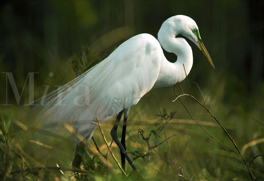An egret in breding plumage.