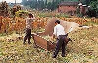 Farmer processing rice in the field