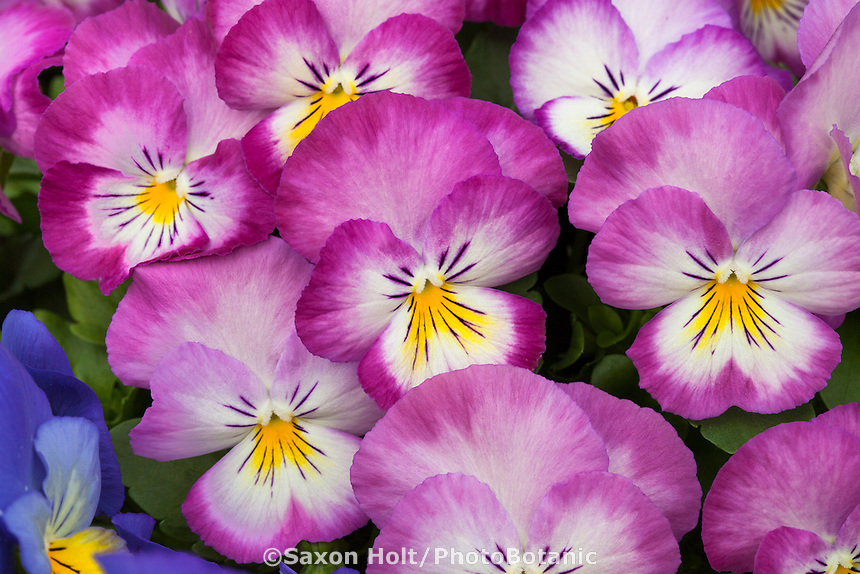 Holt10742342 photobotanic stock photography garden library pansy flowers viola x wittrockiana ultima radiance pink mightylinksfo